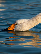 威海烟墩角:与白色精灵大天鹅共舞
