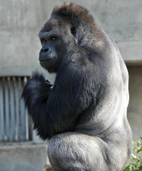 动物园围观猩猩