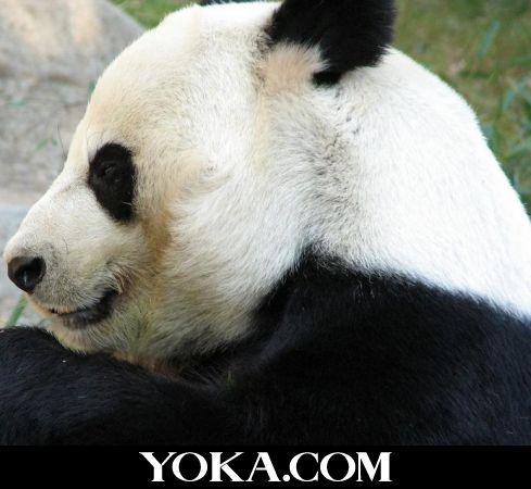 可爱的大熊猫_图文_yoka时尚网